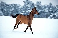 American Saddlebred _ walking in snow