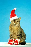 tabby domestic cat with Santa Claus Cap and shoes
