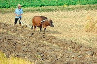 Farmer ploughing field with ox cart, Shanghai, China