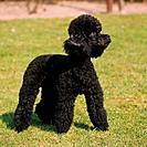black miniature poodle _ standing on meadow