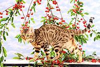 Bengal kitten walking in front of twigs