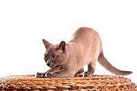 Tonkanese cat _ stretching itself