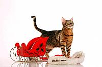 Bengal cat with sledge and Santa claus cap