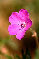 Geranium sanguineum _ blossom / Geranium Sanguineum
