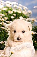 Westhighland White Terrier _ puppy lying on stone