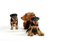 Welsh Terrier, bitch with puppies, 7 weeks
