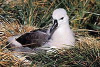 Black-browed Albatross chick (Diomedea melanophris) on nest. West Point Island, Falkland Islands.