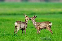 Roe deer and Roe buck, Capreolus capreolus, Germany