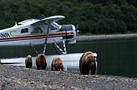 Brown bear, grizzly with cubs, Ursus Arctos, seaplane in the background, Katmai National Park, Alaska, USA