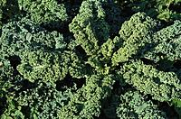Close up of green cabbage, Brassica Oleracea, Vegetable, Healthy Eating