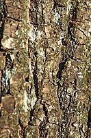 Bark from an alder