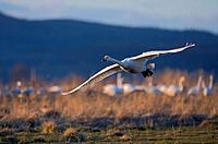 Cygnus cygnus\\Swan