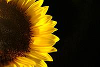 a sunflower half view of the petals