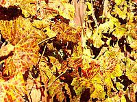 natural grape tree leaf leaves on the fall season