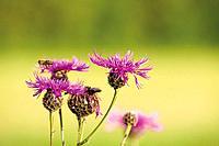 Brown Knapweed flowers, close_up