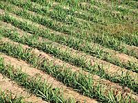 agricultural farm fields plantation