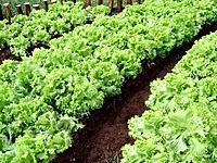 some green leaves of lettuces vegetables plantation
