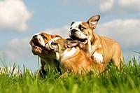 three English Bulldogs on meadow