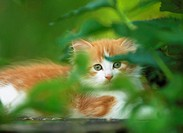 Maine Coon kitten _ lying behind twigs restrictions: Tierratgeber_Bücher / animal guidebooks