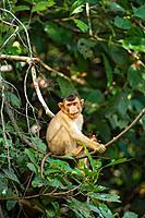Pig-tailed Macaque (Macaca nemestrina) by Kinabatangan River. Sabah state, Borneo, Malaysia