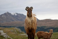 Close_up of goat on grass