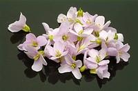 Medicinal plant bog pink, milkmaids, cuckoo flower, cardmine, cardamine pratense, cardamine,