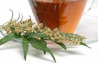 Medicinal herb_tea and Blossom of the medicinal plant mugwort, wegwood, artemisia, artemisia vulgaris, artemisia officinalis, amarella, assenzio, asse...