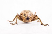 Sluggish weevil