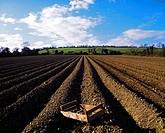 Potato field, Ireland