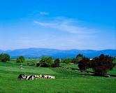 Cattle, Golden Vale Mitchelstown, Co Tipperary