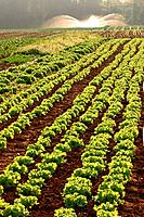 Vegetable garden, Paraná, Brazil