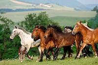 Noriker herd _ running on meadow