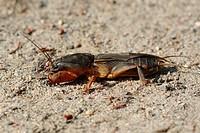 European mole cricket _ on sand / Gryllotalpa gryllotalpa