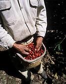 Worker at the coffee harvest Xico, Veracruz, Mexico