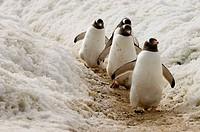 Antarctica, Antarctic Peninsula, Gerlache strait, Neko Harbor, Gentoo Penguins.