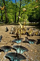 Butterflys Clustering at Mineral Lick, Greenbrier, Great Smoky Mountains National Park, Tennessee, USA