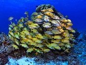 Schooling fish Blue striped grunts on coral reef
