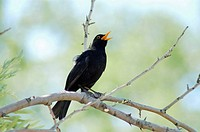 A singing male Blackbird (Turdus merula)