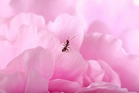 Close_up of an ant on a petal of flower