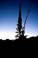 Silhouette of a plant, Mauna Kea, Hilo, Hawaii, USA