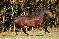 Pura Raza Espa¤ola _ galloping on meadow