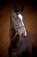 german riding horse _ portrait