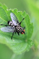 Red-eyed robber fly rests in stinging nettle. A red-eyed fly with black and white stripy back sits in the top of  stinging nettle after a heavy overni...