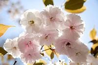 Germany, Bavaria, Ebenhausen, Cherry blossom, close_up