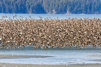 Western Sandpipers and Dunlins in mid_flight over Hartney Bay Cordova in Southcentral Alaska Spring
