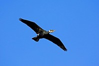 Cormorant, North Rhine_Westphalia, Germany, Phalacrocorax carbo