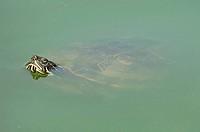 Red_eared Slider, Trachemys scripta elegans, Pseudemys scripta elegans, Red_eared Turtle