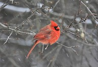 Cardinal In Winter