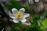 Blooming wood anemones, Anemone nemorosa