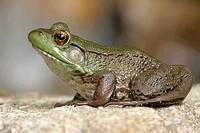Green Frog Rana clamitans on a Rock